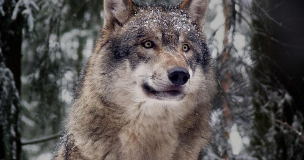Gray Wolves Spotted in Central California for the First Time in a Century