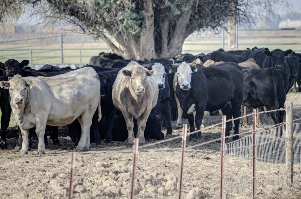 The Great Reset of Beef Consumption