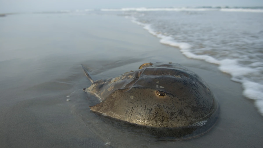 Horseshoe crab blood is key to making a COVID-19 vaccine—but the ecosystem may suffer.